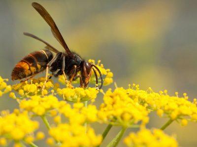 Rentokil Initial: Las avispas asiáticas, una amenaza letal para el ecosistema