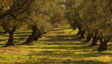 El olivo, una planta ornamental muy popular