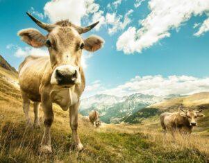 Miles de hectáreas protegidas de los incendios del verano gracias al pastoreo del ganado vacuno