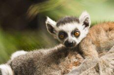 Loro Parque da la bienvenida a una nueva cría de lémur de cola anillada